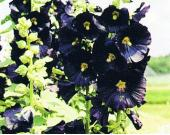 PIB_black_hollyhock
