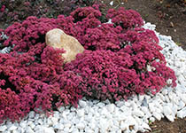 Sedum-Dazzleberry-th