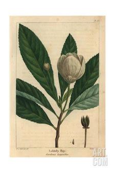 pierre-joseph-redoute-loblolly-bay-tree-from-michaux-s-north-american-sylva-1857_i-G-71-7198-XPOU100Z