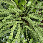 Athyrium_filix-femina_'Frizelliae'-th