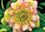 HelleboreAmberGem-th