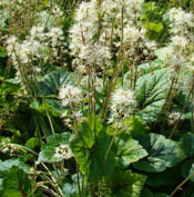 TIARELLA_BRANDYWINE-th