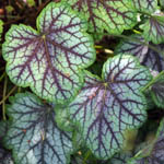 heuchera_green_spice_jwb_th