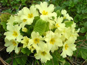 primula-vulgaris-th