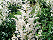 astilbe_Snowdrift-th