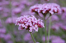 verbena-bonariensis-flower-th
