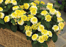 Lantana_Lemon_Zest-th