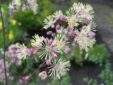 thalictrum_elin-th