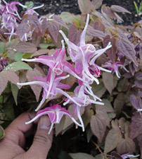 Epimedium-Lilafee-th