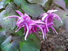 Epimedium_grandiflorum_Rose_Queen-th
