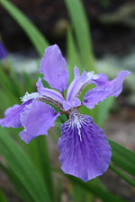 iris-tectorum-wolong-flower-th