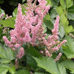 Astilbe Visions